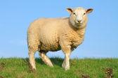 Sheep on seawall — Stock Photo