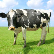 Stock Photo: Cow on land