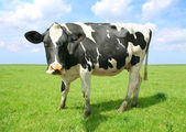 Cow on land — Stock Photo