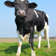 Stock Photo: Looking cow