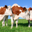 The flirt cows — Foto Stock