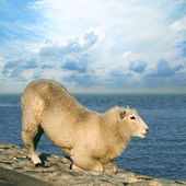 Sheep on seawall — Stock Photo