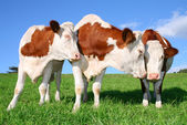 The flirt cows — Stock Photo