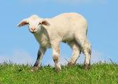 Lamb on seawall — Stock Photo