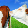 Stock Photo: Cows in series