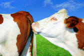 Cows in series — Stock Photo