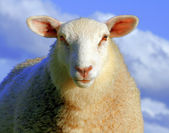 Sheep in blue light — Stock Photo