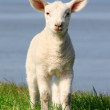 Stock Photo: Little lamb with big ears