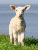 Little lamb with big ears — Stock Photo