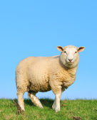 The unknown sheep — Stock Photo