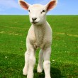 Stock Photo: Nosiness Lamb