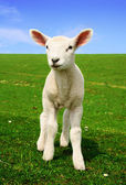 Nosiness Lamb — Stock Photo