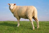 The Sheep Gypsy — Stock Photo
