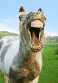 The laughing Horse — Stock Photo