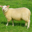 Stock Photo: Shy sheep