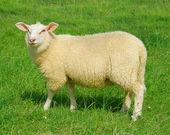 The shy sheep — Stock Photo