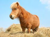 Ruby the little horse — Stock Photo