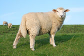 Sheep in North Germany — Stock Photo