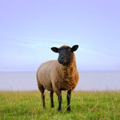 Sheep in the Evening — Stock Photo