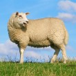Stock Photo: Sreaming sheep