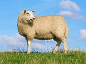 Sreaming sheep — Stock Photo