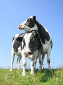 The looking cows — Stock Photo