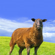 Stock Photo: Sheep standing in grass.