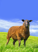 Sheep standing in the grass. — Stock Photo