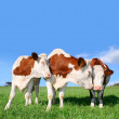 Stock Photo: Flirt cows