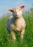 Sheep in the grass — Stock Photo