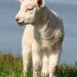 Stock Photo: Lamb standing on seawall