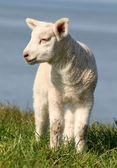 Lamb standing on seawall — Stock Photo