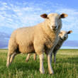 Stock Photo: Sheeps in evening