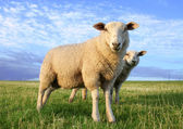 Sheeps in the evening — Stock Photo