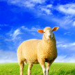 Stock Photo: Golden sheep