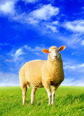 The golden sheep — Stock Photo
