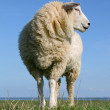Stock Photo: Sheep standing on seawall