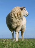 Sheep standing on seawall — Stock Photo