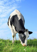 The eating cow. — Stock Photo