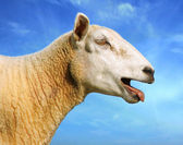 Sheep is cry out. — Stock Photo