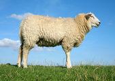 Meditating sheep — Stock Photo