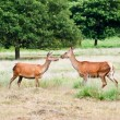 Two deer in Richmond park - Stock Photo
