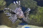 Pterois volitans. poisonous fish — Stock Photo