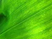 Green leaf lit from behind — Stock Photo