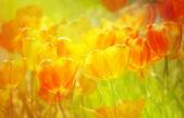 Yellow red tulip — Stock Photo
