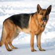 Young german shepherd — Stock fotografie
