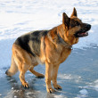 German shepherd in attention — Stock Photo