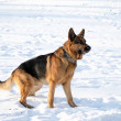 Young german shepherd — Stock Photo