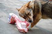 çiğneme köpek — Stok fotoğraf
