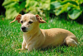 Toy terrier girl — Stock Photo